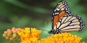 'Round-up Ready' Crops Pushing Monarch Butterfly to 'Verge of Extinction'